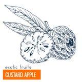 Vaniljsås Apple Hand tecknad vektorillustration Fotografering för Bildbyråer