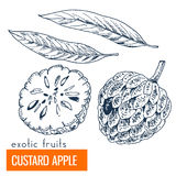 Vaniljsås Apple Hand tecknad vektorillustration Royaltyfri Foto