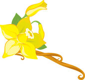 Vanilla. Flower with leafs and bud royalty free illustration