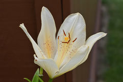 Vanilla Asiatic Lily in Bloom. A close up on an asiatic lily Royalty Free Stock Photography