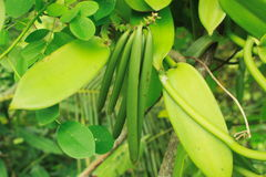 Vanilla bean. Bunch of green vanilla bean growing on tree Royalty Free Stock Photos