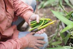 Vanilla beans Stock Image