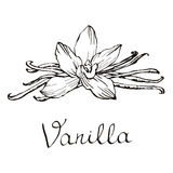 Vanilla beautiful flowers and beans. Hand drawn sketches vector illustration on white background in vintage style. Vanilla beautiful flowers and beans, vector Stock Images
