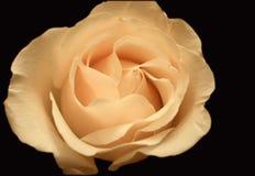 Vanilla candy rose  Stock Photo