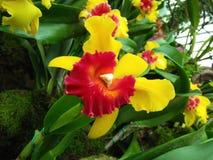 Vanilla cousin. Garden by the river singapore botanical garden Stock Images