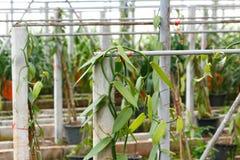 Vanilla cultivation farm Stock Photos