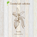 Vanilla, essential oil label, aromatic plant Royalty Free Stock Image
