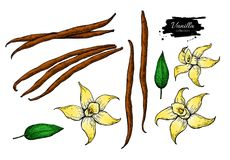 Vanilla flower and bean stick vector drawing set. Hand drawn sketch food illustration. Isolated on white. Artistic style spice and flavor object. Cooking and Royalty Free Stock Images