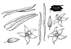Vanilla flower and bean stick vector drawing set. Hand drawn sketch food. Illustration isolated on white. Engraved style spice and flavor object. Cooking and Stock Photography