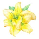 Vanilla Flower Stock Photos