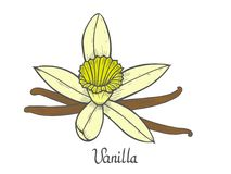 Vanilla flower plant. Vanilla flower Hand drawn colored sketch vector illustration isolated on white Stock Photos