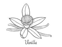 Vanilla flower plant. Vanilla flower Hand drawn sketch vector illustration isolated on white Stock Images