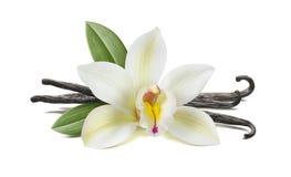 Vanilla flower, pods, leaves on white stock images