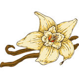 Vanilla Flower with Two Sticks Stock Image