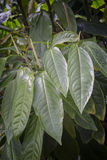Vanilla flower (Vanilla planifolia), the true flower of the orch Royalty Free Stock Photography