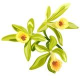Vanilla flowers card Royalty Free Stock Image