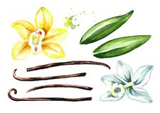 Vanilla flowers, pods and leaves set. Watercolor hand drawn illustration, isolated on white background.  vector illustration