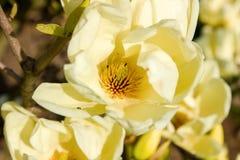Vanilla Magnolia Flower Royalty Free Stock Photography