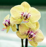 Vanilla orchid blossom Stock Photo