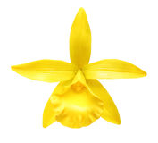 Vanilla orchid flower isolated Stock Images
