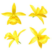 Vanilla orchid flower isolated Stock Photos