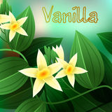 Vanilla orchid, Vanila planifolia, with green leaves and aerial roots. Vector Stock Photos