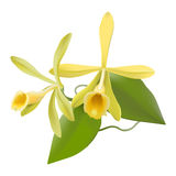 Vanilla Orchid  (Vanilla planifolia). Photo-realistic hand drawn vector illustration of vanilla flowers, including leaves and aerial roots, on white backgroundn Royalty Free Stock Photos