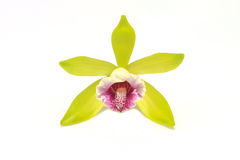 Vanilla pilifera Rare species wild orchids royalty free stock photo