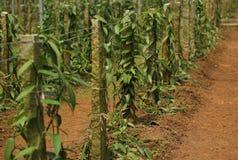 Vanilla planifolia andrews Royalty Free Stock Photo