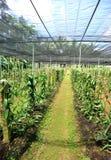 Vanilla planifolia andrews Stock Photo