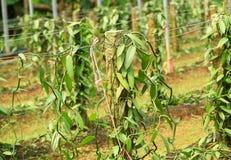 Vanilla planifolia andrews Stock Photography