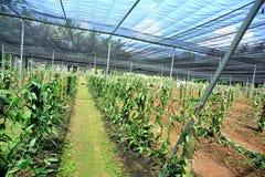 Vanilla planifolia andrews in growth Royalty Free Stock Photo