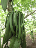 Vanilla planifolia a climbing orchid Royalty Free Stock Photography