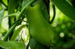 Vanilla planifolia Royalty Free Stock Photos