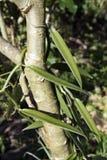 Vanilla plant. Closeup of a vanilla plant growing on a small tree Royalty Free Stock Photos
