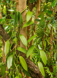Vanilla plant and green pod royalty free stock photography