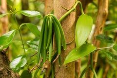 Vanilla plant and green pod stock photo