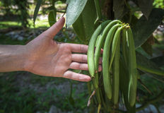 Vanilla plant and green pods in the plantation. Vanilla spice plant and green pods in the plantation Royalty Free Stock Images