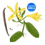 Vanilla plant hand drawn botanical illustration Stock Photos