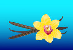 Vanilla pods and flower. Vector illustration. Stock Photos