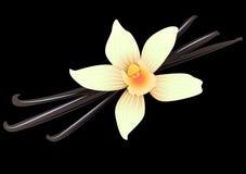 Vanilla pods and flower. Vector Illustration Icon of Vanilla pods and flower Stock Photography