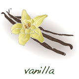 Vanilla pods and flower vector Stock Photography