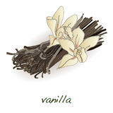 Vanilla pods and flower vector Royalty Free Stock Photos