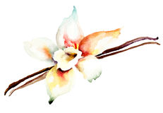 Vanilla pods and flower. Watercolor illustration Royalty Free Stock Images