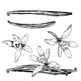 Vanilla pods and flower  on white Royalty Free Stock Photos