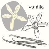 Vanilla pods and flowers. Hand-drawn  illustration, can be Stock Images