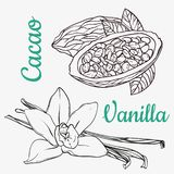 Vanilla pods or sticks and cacao hand drawing sketches isolated on white background. Vanilla plant flower aroma. Vanilla pods or sticks and cacao hand drawing stock illustration