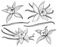 Vanilla pods or sticks hand drawing sketches isolated on white background. Vanillas doodle spicy herbs vector illustration. Vanilla pods or sticks hand drawing royalty free illustration