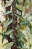 Vanilla plant leafs, madagascar royalty free stock images