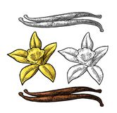 Vanilla stick and flower. Vector color vintage engraving. Vanilla stick and flower. Isolated on white background. Vector color and monochrome vintage engraving Royalty Free Stock Image